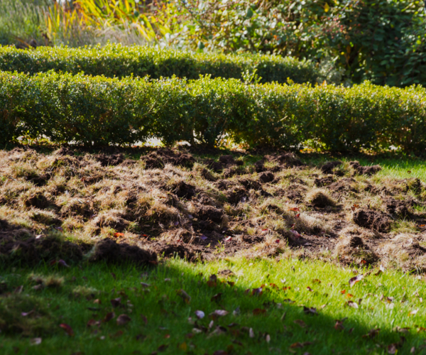 damage caused by skunks to lawn