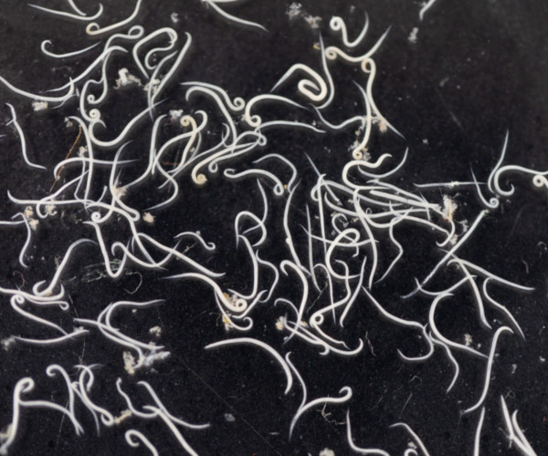 skunk roundworms causes health problems